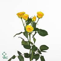 Роза сп. Yellow Baby 60см, фото 1