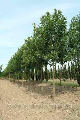 Ясень зеленый 3,5 - 4,0 м