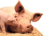 Як годувати свиню?