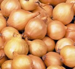 Лук севок озимый желтый Штутти  Голландия