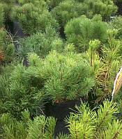 Сосна гірська 'Пуміло' Pinus mugo 'Pumilio' Контейнер С2 (2л)