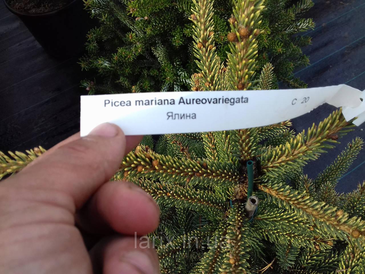 Picea mariana 'Aureovariegata,ель Aureovariegata