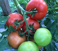 Семена томата Клад F1 250 Lark Seeds Ларк сидс