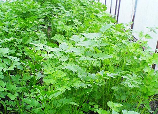 выращивание петрушки в теплице из поликарбоната или пленки