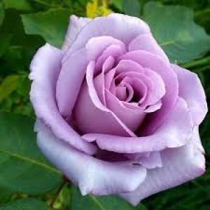 Саженец Роза  чайно-гибридная Блю Мун (Blue Moon)