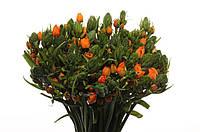 Орнитогалум Orange Fire, фото 1