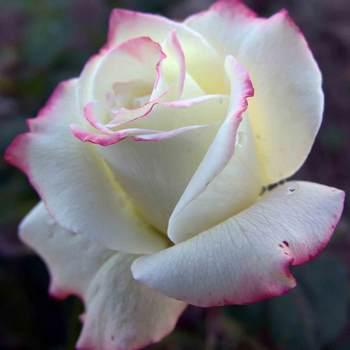 Саженец Роза чайно-гибридная  Атена (Athena)