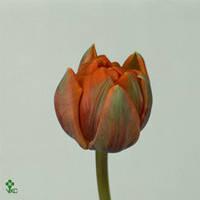 Тюльпан Пион. Оранж, фото 1