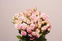 Роза сп. Odilia 60см, фото 1