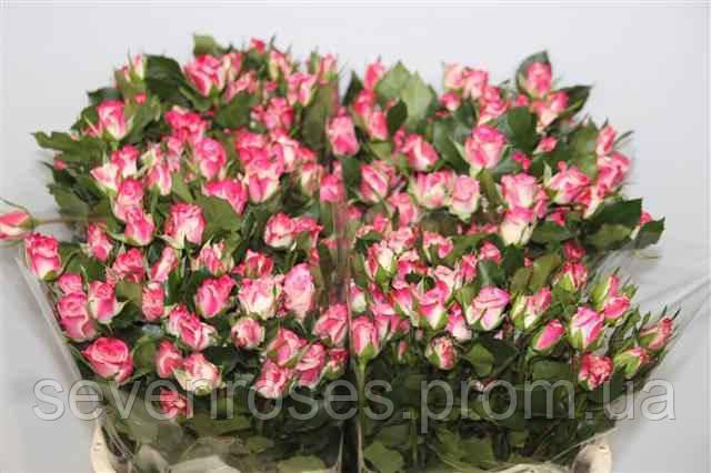 Роза сп. Reflex 60см