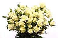 Роза сп. Snowflake 70см, фото 1
