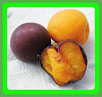 ЭКСКЛЮЗИВ. Сорт черного абрикоса Черный Принц (саженцы)