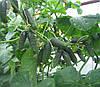 Семена огурец Афина F1 Nunhems 1000 семян