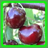Саженцы вишни сорт Норд Стар (Плотная, сочная, вкусная.)