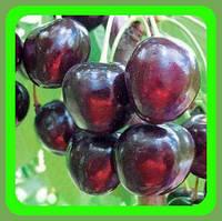 Саженцы вишни сорт Чудо-Вишня  (Крупная, плотная, изумительный аромат)