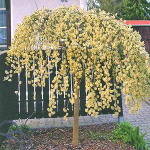 Саженцы вербы (ивы) плакучей - (Salix Pendula)