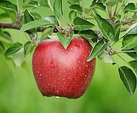 Яблоня Кадел (М.26).  Поздне-осенний сорт.