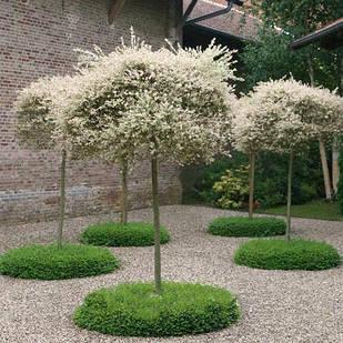 Саженцы Вербы шаровидной - Salix fragilis