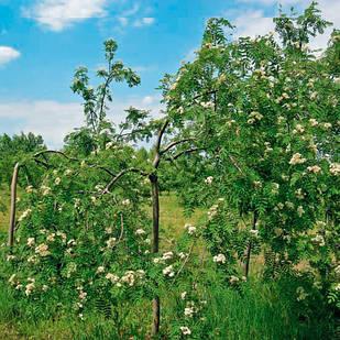 Саженцы Рябины плакучей - Sorbus aucuparia Pendula