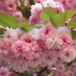 Саженцы Сакуры шаровидной Роял Бургунди (Prunus Serrulata Royal Burgundy)