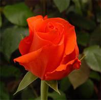 Роза Литке