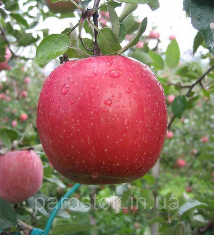Саженцы яблони Кику 8. (ММ 106). Зимний сорт
