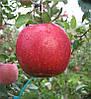 Саженцы яблони Кику 8. (54-118). Зимний сорт.