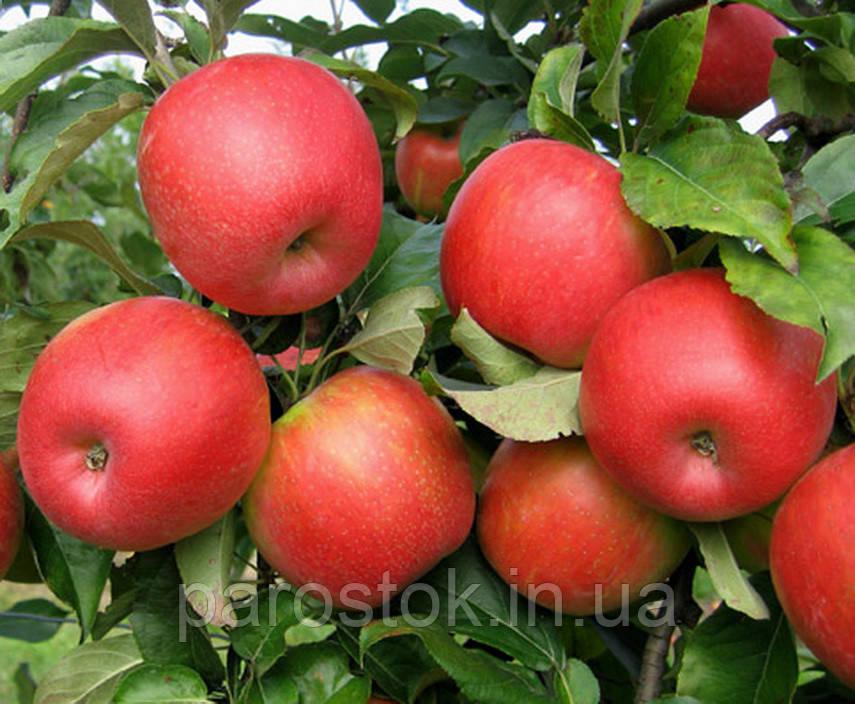 Саженцы яблони Сансе. (Б7-35). Поздне летний сорт.
