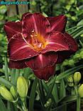 Лилейник Burgundy Love(Бургундская любовь), фото 4