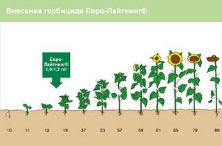 Семена подсолнечника под Евро-Лайтнинг