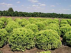 Семена салата Оникс 5000 семян Nunhems