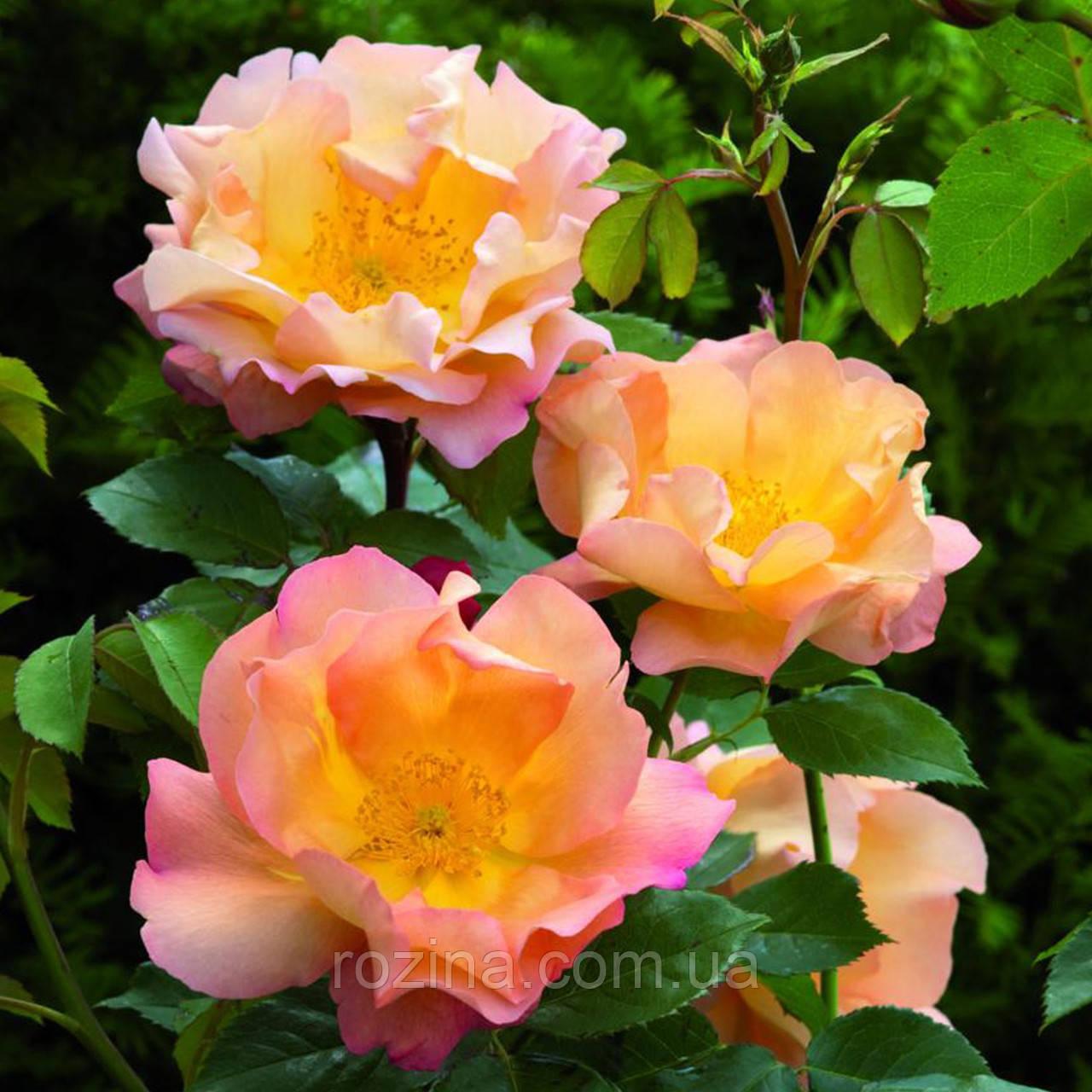 """Саджанці троянди """"Файтинг Темэрейр"""""""
