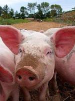 Выращивание ремонтного молодняка свиней