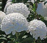 Хризантема срезочная Рефлекс, фото 5