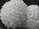 Хризантема срезочная Рефлекс, фото 6
