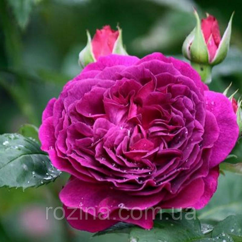 """Саджанці троянди """"Перпл Лодж"""""""