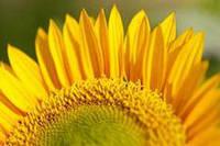 Семена подсолнечника Любаш, 120 дней