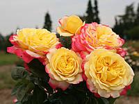 Роза Кордес Юбилей