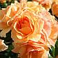 Роза Хандестат Росток, фото 3