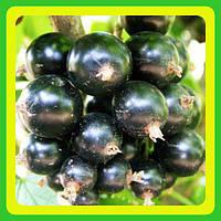 Смородина черная Вернисаж (саженцы)