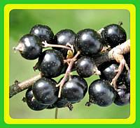 Смородина черная Селеченская (саженцы)