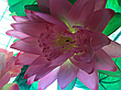 Искусственные цветы. Искусственный букет лотос., фото 2