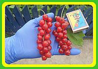 Смородина красная Рондон (саженцы)