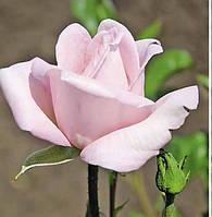 Роза Мерхенкониген