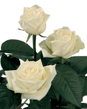 Саджанець Троянди чайно-гібридна Маруся (Marusia)