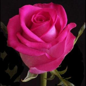 Саджанець Троянди чайно-гібридна Топаз (Topaz)