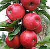 Яблоня Розела. (М.9) Зимний сорт.