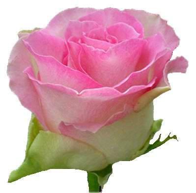Саджанець Троянди чайно-гібридна Малібу (Maliby)