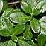 Брусниця Звичайна Листя (Брусника Обыкновенная), 50г, фото 2