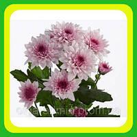 Хризантема ранняя сорт Амалфи ( укорененные черенки)